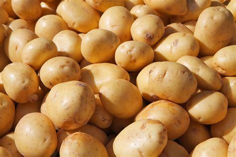 yukon gold yellow potato harvest to table
