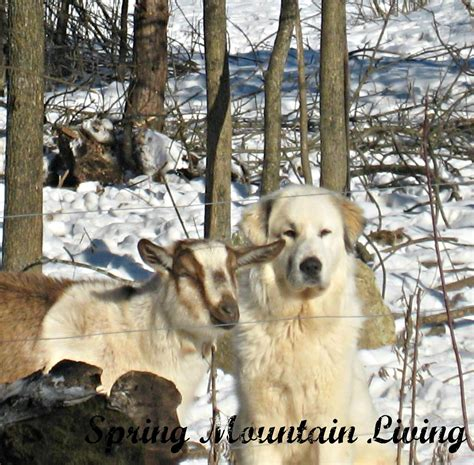 livestock guardian dogs chat about livestock guardian dogs