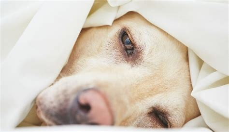 gastroenteritis in dogs hemorrhagic gastroenteritis in dogs what you should herepup