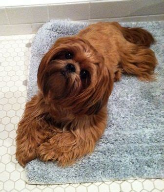 best brush for shih tzu 17 best images about i shihtzu dogs on pets puppys and shih tzu puppy
