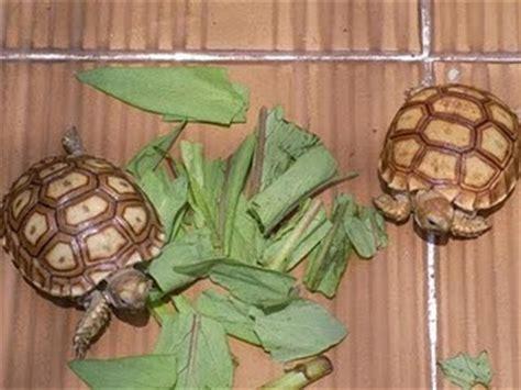 Peliharaan Anakan Kura Kura Baby Turtle cesarenegoro jual kura kura baby sulcata kura kura