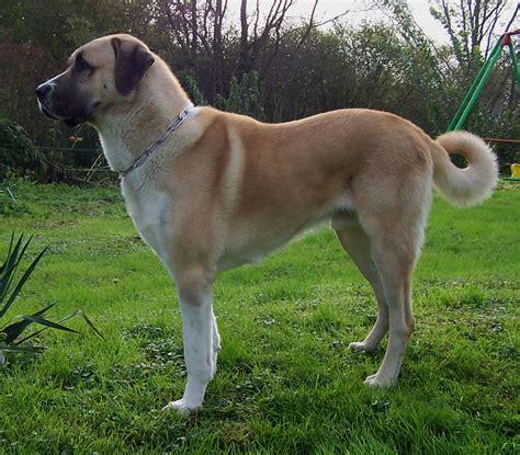 anatolian shepherd puppy anatolian shepherd dogs breeds
