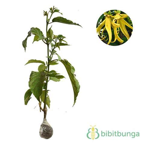 Bibit Bunga Kenanga tanaman kenanga perfume tree bibitbunga