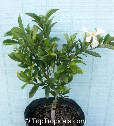 Gardenia Bush For Sale Gardenia Kailarsenia Vietnamensis Gardenia