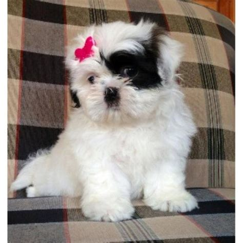 ohio shih tzu breeders amanda s shih tzu shih tzu breeder in crown city ohio listing id 21933