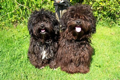 shih tzu x poodle puppies shih tzu x poodle puppies shih poo high peak derbyshire pets4homes