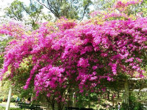 bouganville fiore bouganville ricanti bouganville pianta