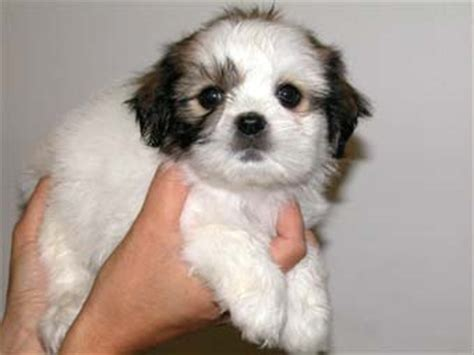 shih tzu cross maltese puppies maltese shitzu on maltese shih tzu and maltese puppies