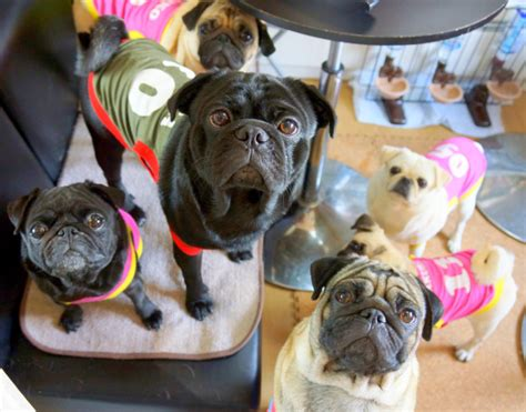 japanese pugs need to visit japan s pug cafe seen in the city