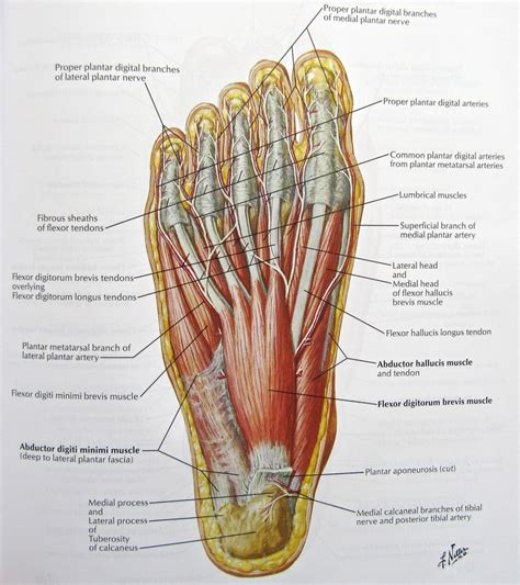 anatomy diagram foot anatomy muscles human anatomy diagram