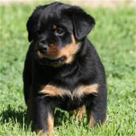 rottweiler puppies california german rottweiler puppies for sale in san bernardino california classified hoodbiz org