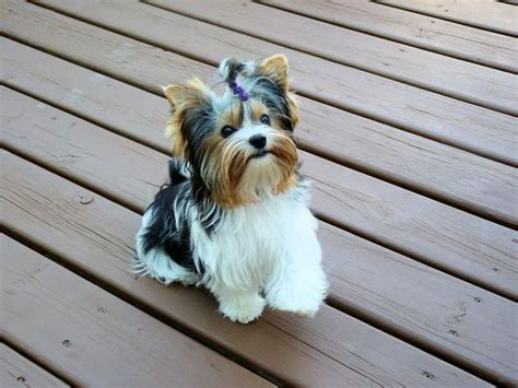 biewer yorkie breed information 102 best images about biewer on terriers pets and yorkies