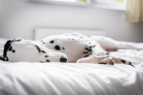 dogs sleeping in bedroom here s why sleeping with your dog is actually good for you