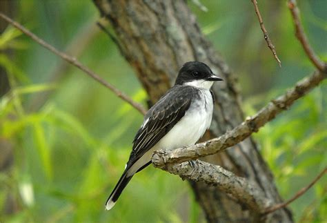 eastern kingbird tyrannus tyrannus photo charlie lentz