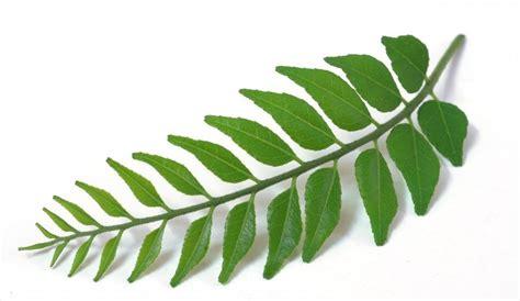 imagenes hojas de sen hoja de curry www cocinista es