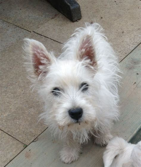 westie for sale westie pup for sale gloucester gloucestershire pets4homes