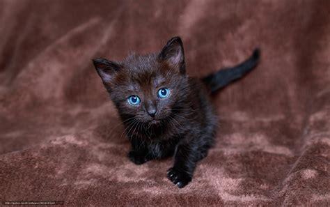 where do newborn kittens go to the bathroom tlcharger fond d ecran noir chaton aux yeux bleus voir