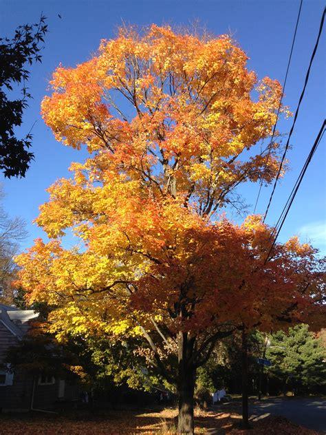 file autumn rocky mountain maple file 2014 11 02 15 25 30 sugar maple during autumn along