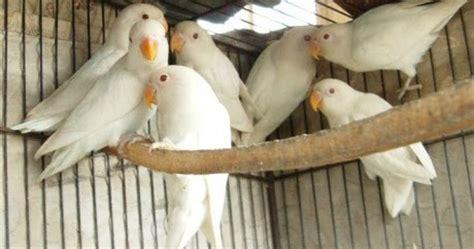 Anakan Arwana Hijau ternak burung kicau harga jual lovebird mata merah