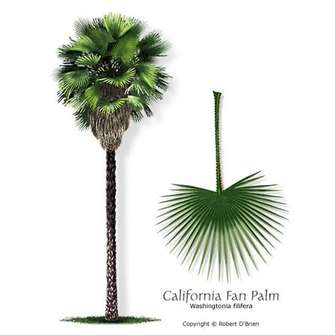 planting fan palm trees 17 best images about tattoos on watercolor fox