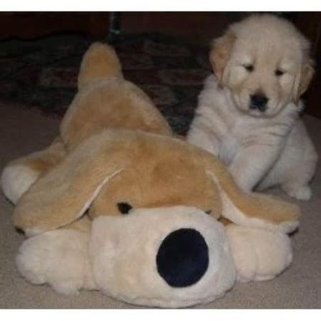 new hshire golden retriever breeders granite gold goldens golden retriever breeder in sutton new hshire