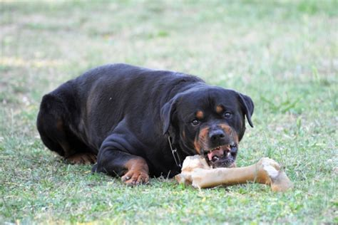 are rottweilers aggressive dogs how to stop food aggression