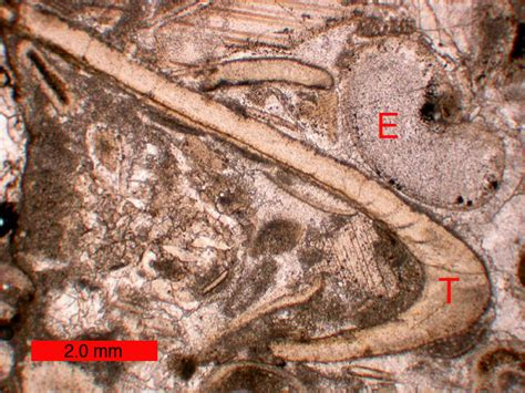 brachiopod thin section still life with trilobite section alex acks sound and