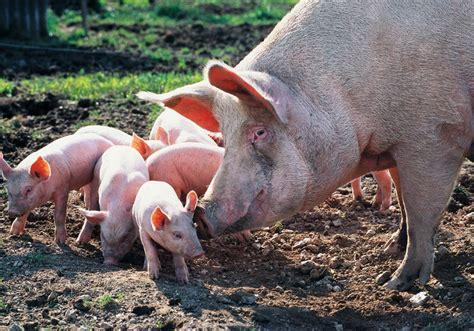 haus schwein metzgerin schlachtet schweine keywordsfind