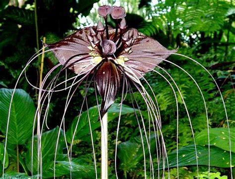 fiore pipistrello la bizzarra quot pianta pipistrello quot ed i suoi quot fiori diavolo quot