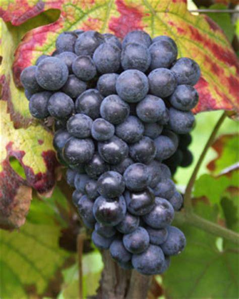imagenes de uvas tintas pinot meunier aprende a catar vino