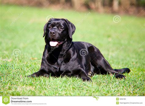 imagenes labrador negro labrador negro imagen de archivo imagen de labrador
