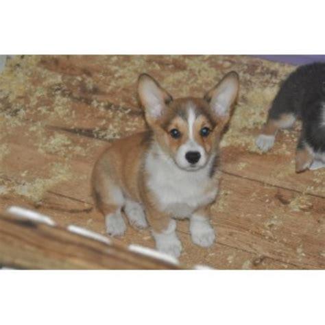 corgi puppies for sale florida pembroke corgi puppy for sale in newberry florida