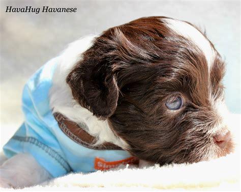 family raised havanese puppies for sale havahug havanese puppies