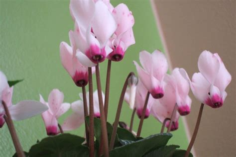 flowering house plants identification flowering houseplants for your home gardening know how