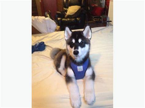 15 week puppy 15 week husky puppy sault ste sault ste