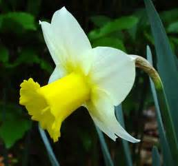 popular flower romantic flowers narcissus flower