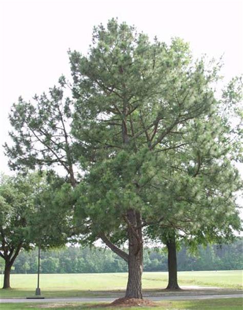 trees nc carolina state tree state tree longleaf pine