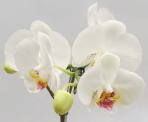 come mantenere le orchidee in vaso come coltivare le orchidee buoni sconto coupon