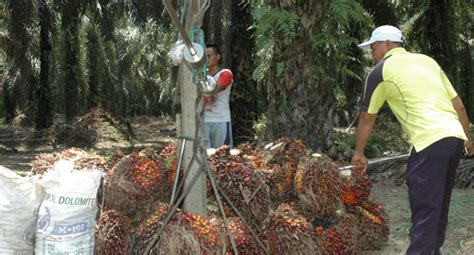berita sawit diperbatasan petani jual sawit  malaysia