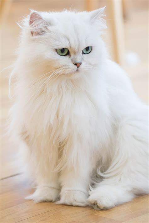 the white cat and these facts about white cat breeds are quite fur tastic