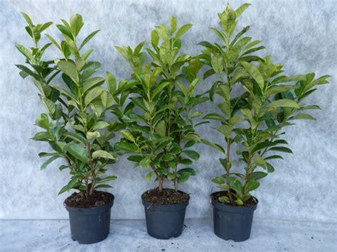 kirschlorbeer rotundifolia kaufen kirschlorbeerhecke rotundifolia jetzt hier kaufen