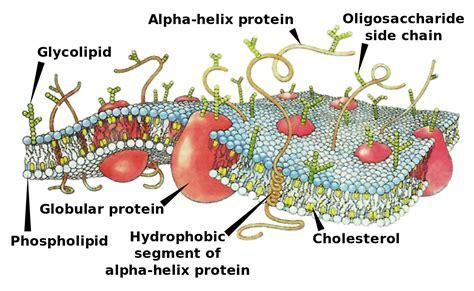 cell membrane simple english wikipedia
