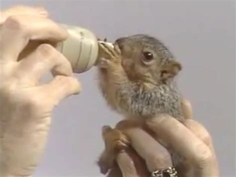 bob ross painting with squirrel bob ross feeds a squirrel with a tiny bottle