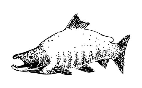 salmon fish coloring pages salmon coloring pages