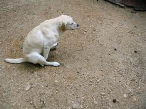 why do dogs rub their bottoms on the floor meze
