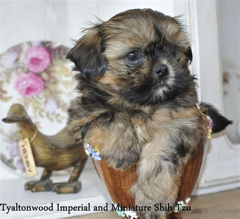 shih tzu imperial type stunning tiny imperial shih tzu boy puppy bournemouth dorset pets4homes