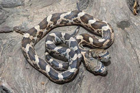 serpente a 2 teste un serpente con due teste cosa sogna quella promessa