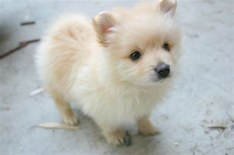 puppy pomeranian puppy dogs pomeranian puppies