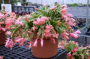 Are you growing a thanksgiving or christmas cactus what grows there