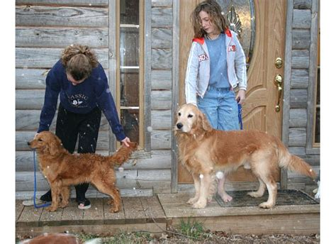 golden retriever sizes breed history